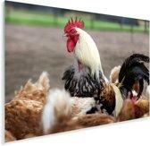 Witte haan tussen de kippen Plexiglas 90x60 cm - Foto print op Glas (Plexiglas wanddecoratie)