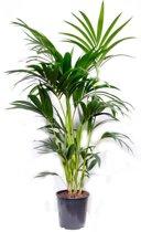 Palm kentia M | Hoogte 130cm