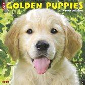 Golden Retriever Puppies Kalender 2020