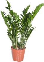 Zamioculcas Emerald Palm (pot 24 cm)