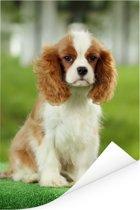 Cavalier King Charles-spaniël Poster 60x90 cm - Foto print op Poster (wanddecoratie woonkamer / slaapkamer) / Huisdieren Poster