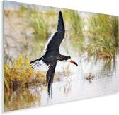 Zwarte Schuimspaan tijdens de vlucht tegen een achtergrond van water en gras Plexiglas 80x60 cm - Foto print op Glas (Plexiglas wanddecoratie)
