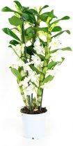 Orchidee van Botanicly | Bamboe orchidee wit | Hoogte: 50 cm  | Dendrobium Nobilé