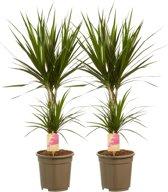 Kamerboomen van Botanicly   2 × Drakenboom   Hoogte: 80 cm    Dracaena Marginata
