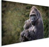 Grote Gorilla kijkt recht in de camera Plexiglas 120x80 cm - Foto print op Glas (Plexiglas wanddecoratie)