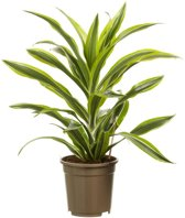 Choice of Green - Dracaena Lemon Lime - Drakenboom - Kamerplant in Kwekerspot ⌀17 cm - Hoogte ↕70 cm