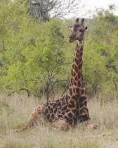 Giraffe Seated Blank Book Lined Journal (8x10)