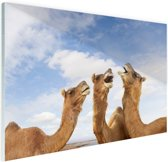 Kamelen in India Glas 30x20 cm - Foto print op Glas (Plexiglas wanddecoratie)