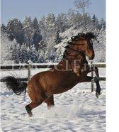 Steigerend paard in sneeuw - Diamond Painting 40x50 (Volledige bedekking - Vierkante steentjes)