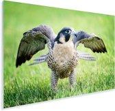 Valk met gespreide vleugels in het gras Plexiglas 90x60 cm - Foto print op Glas (Plexiglas wanddecoratie)