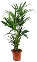 Palm kentia S | Hoogte 110 cm