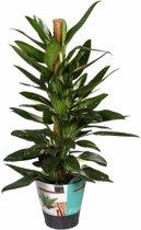 Philodendron Cobra mosstok 80 cm
