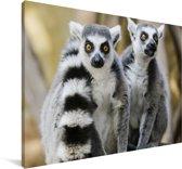Twee schattige Ringstaartmaki's in de bomen Canvas 90x60 cm - Foto print op Canvas schilderij (Wanddecoratie woonkamer / slaapkamer) / Wilde dieren Canvas Schilderijen