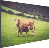 Koe en kalf in een weiland Aluminium 60x40 cm - Foto print op Aluminium (metaal wanddecoratie)