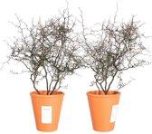 Choice of Green - Corokia cotoneaster Maori Green oftewel Zigzagstruikje - set van 2 stuks - Kamerplant in Kwekerspot ⌀14 cm - Hoogte ↕40 cm