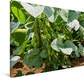 Groeiende sojabonen tijdens een zonnige dag Canvas 120x80 cm - Foto print op Canvas schilderij (Wanddecoratie woonkamer / slaapkamer)