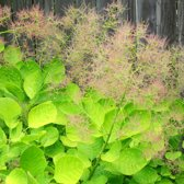 Cotinus Coggygria Golden Spirit ('Ancot') - Pruikenboom 40-60 cm pot