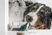Fotobehang vinyl - Een Berner Sennenhond onder het sneeuw breedte 450 cm x hoogte 300 cm - Foto print op behang (in 7 formaten beschikbaar)