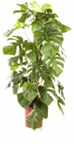 Monstera Gatenplant | Hoogte 120cm