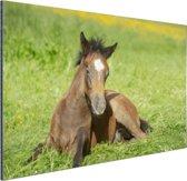 Connemara veulen in weiland Aluminium 180x120 cm - Foto print op Aluminium (metaal wanddecoratie) XXL / Groot formaat!