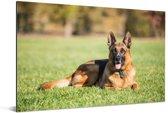 Duitse herdershond ligt op het gras Aluminium 180x120 cm - Foto print op Aluminium (metaal wanddecoratie) XXL / Groot formaat!