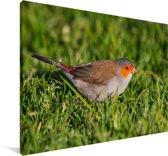 Oranjekaakje op het gras Canvas 30x20 cm - klein - Foto print op Canvas schilderij (Wanddecoratie woonkamer / slaapkamer)