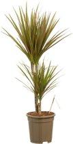 Kamerboom van Botanicly   Drakenboom tweekleurig   Hoogte: 80 cm    Dracaena marginata Bicolour