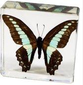 Opgezette vlinder in giethars, blue jay