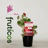 SuperFruit Aardbeienplant (rode bloem) - Ruby Ann
