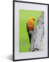 Foto in lijst - Een oranje Zonparkiet zit op een boom fotolijst zwart met witte passe-partout 40x60 cm - Poster in lijst (Wanddecoratie woonkamer / slaapkamer)
