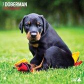 Dobermann Kalender 2020
