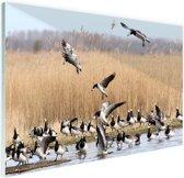 Groep ganzen in het water Glas 90x60 cm - Foto print op Glas (Plexiglas wanddecoratie)