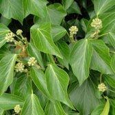 Hedera helix 'Arborescens' 25-30 cm - Struikklimop