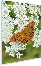 Een oranje vlinder is neergestreken op een kervel Plexiglas 60x90 cm - Foto print op Glas (Plexiglas wanddecoratie)