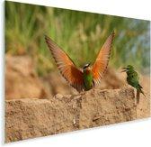 Blauwwangbijeneter spreidt zijn vleugels Plexiglas 30x20 cm - klein - Foto print op Glas (Plexiglas wanddecoratie)