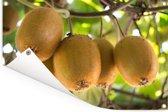 Kiwi's in warm land te rijpen aan boom Tuinposter 60x40 cm - klein - Tuindoek / Buitencanvas / Schilderijen voor buiten (tuin decoratie)