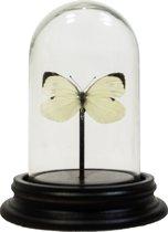 Opgezette vlinder in glazen stolp - Pieris brassicae