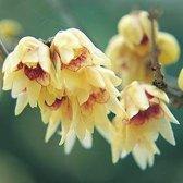 Chimonanthus Praecox - Winterbloem 30-40 cm in pot