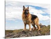 Duitse herdershond op een berg Aluminium 80x60 cm - Foto print op Aluminium (metaal wanddecoratie)