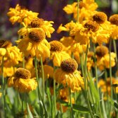 6 x Helenium Bigelovii 'The Bishop'  - Zonnekruid pot 9x9cm