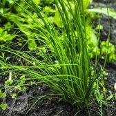 Bieslook 80 zaden biologisch (Allium schoenoprasum) 0.1 g