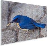 Een blauwe Azuurvliegenvanger staat op de stenen Plexiglas 60x40 cm - Foto print op Glas (Plexiglas wanddecoratie)