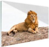 Liggende leeuw Glas 30x20 cm - Foto print op Glas (Plexiglas wanddecoratie)