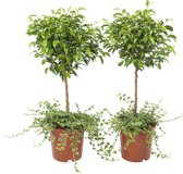 2 stuks kruipende ficus - Ficus Pumila 65cm hoog