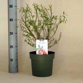 Vaccinium corymbosum 'Pink Lemonade'; Totale hoogte 50-70cm incl. Ø15cm pot. | Zeer decoratief en zeer smakelijke bessen!