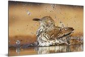 Badende rosse spotlijster Aluminium 60x40 cm - Foto print op Aluminium (metaal wanddecoratie)