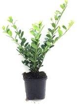 10 x Ilex crenata green hedge 15/+ cm