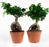 2 Stuks Ficus Gin Seng (Ginseng) - hoogte 40cm
