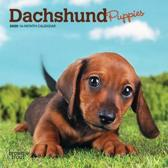Dachshund Puppies 2020 Mini 7x7