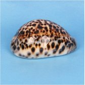 Decoratie tijgermossel schelp 8 cm